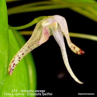Pleurothallis anceps