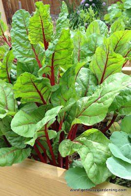 Swiss chard growing in part shade