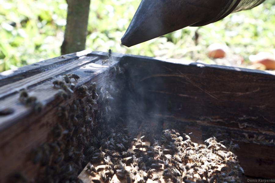 Пасечник обкуривает пчелиный улей что бы достать рамку с сотами.
