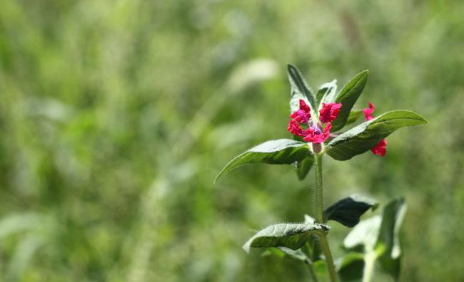 Cuphea llavea Flowers