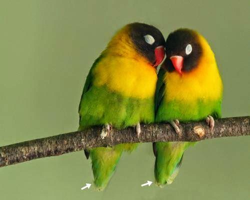 5 hal penting dalam menangkarkan burung lovebird