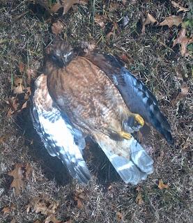 hawk lying deceased in the grass