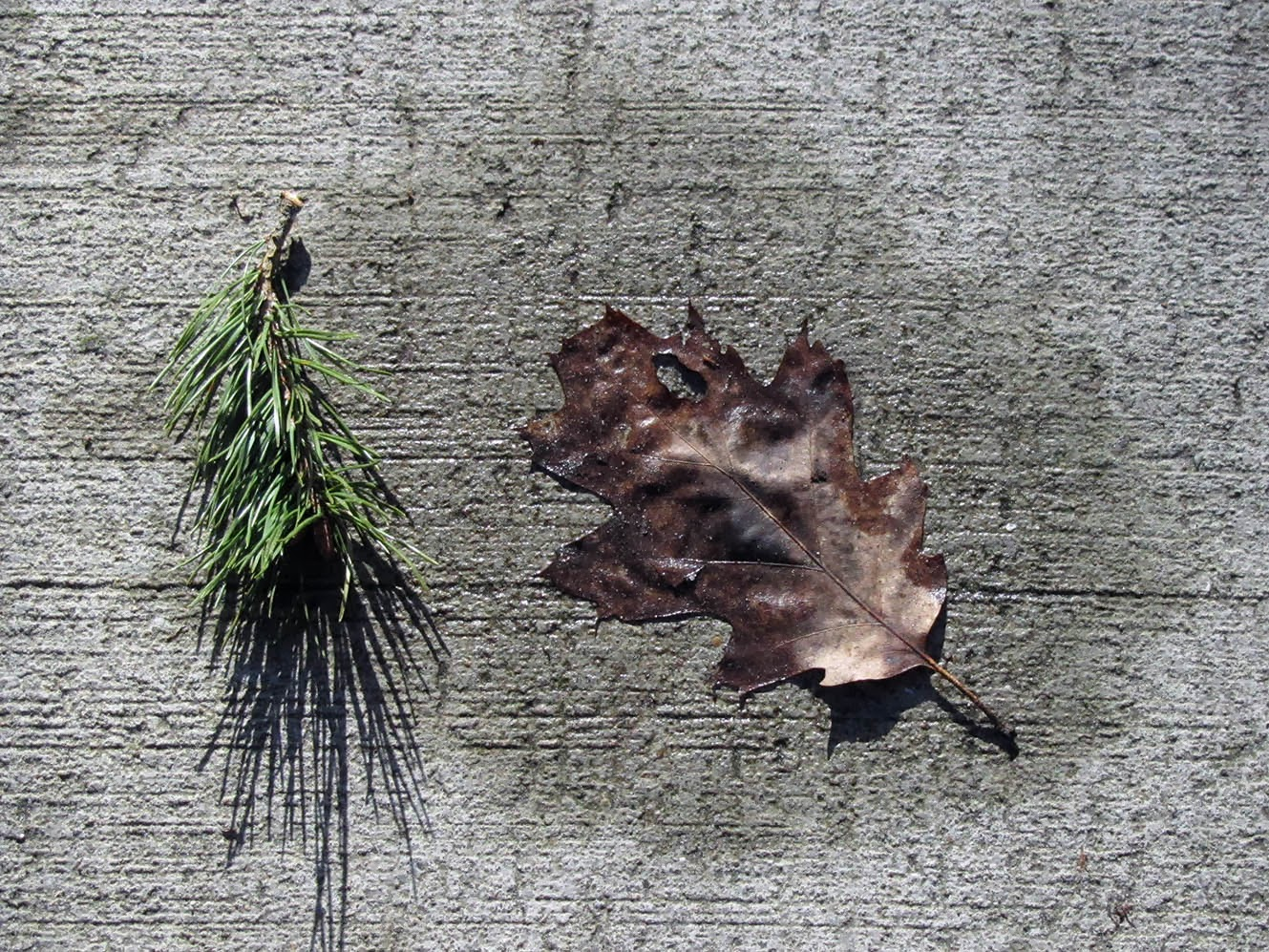 Bit of pine and a leaf