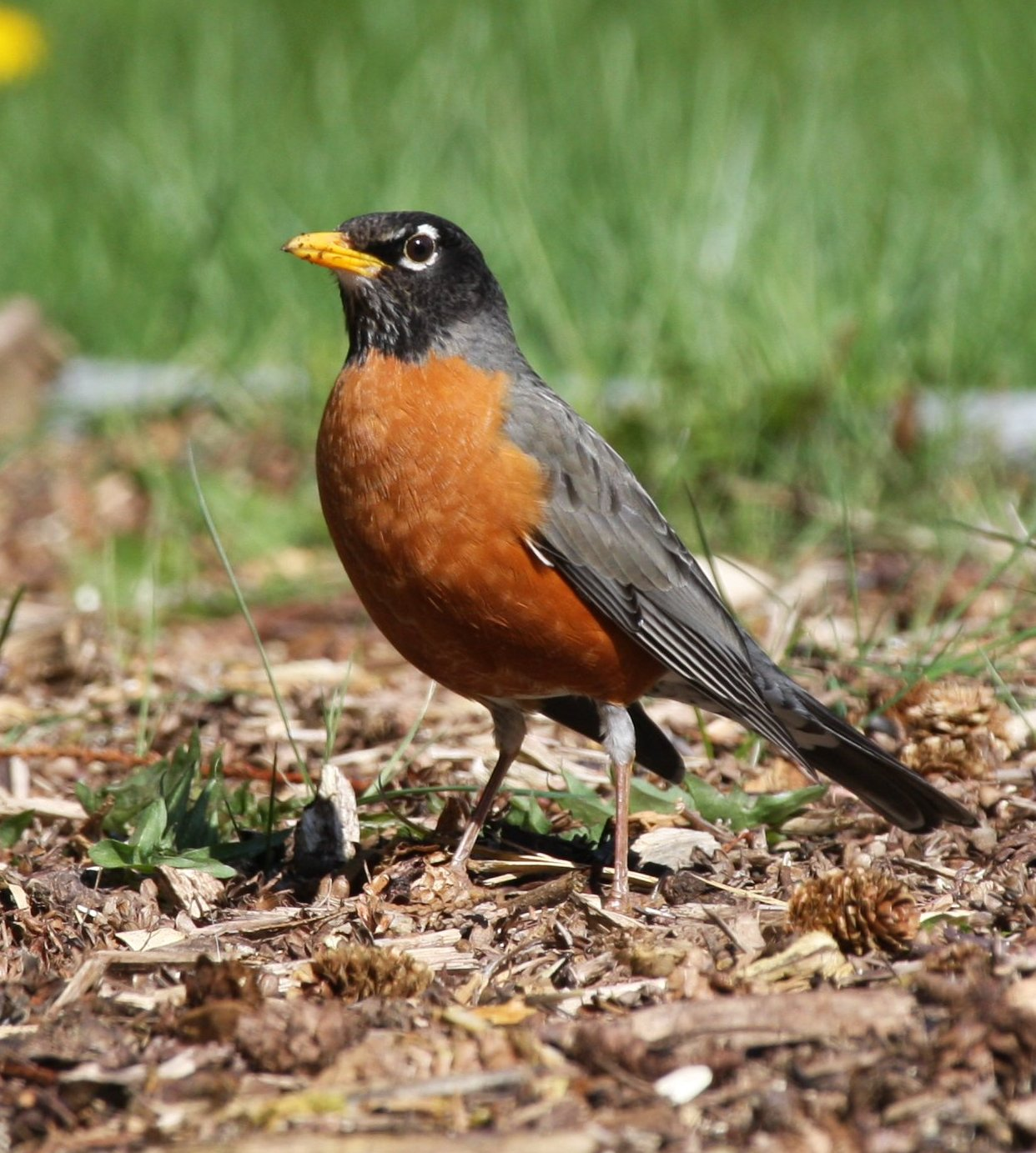 Quilts, Life and Balance: Birds in My Backyard American Robin Bird