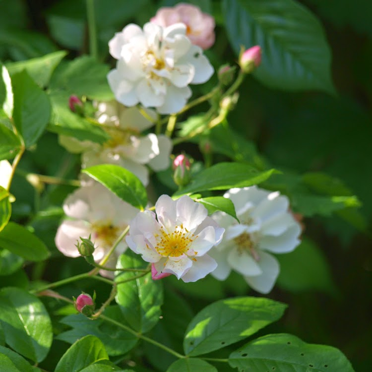 Rose Brenda Colvin er en rose med duft. Skyggetolerant rose