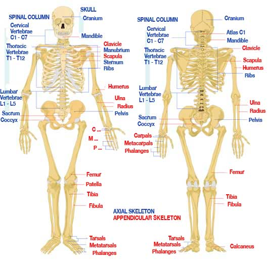 anatomy and physiology study guides review: components and, Skeleton