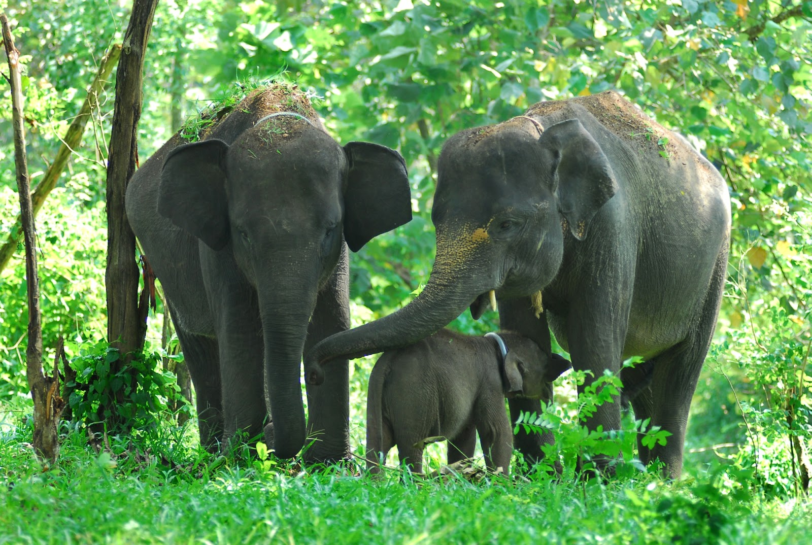 Sumatera Elephants