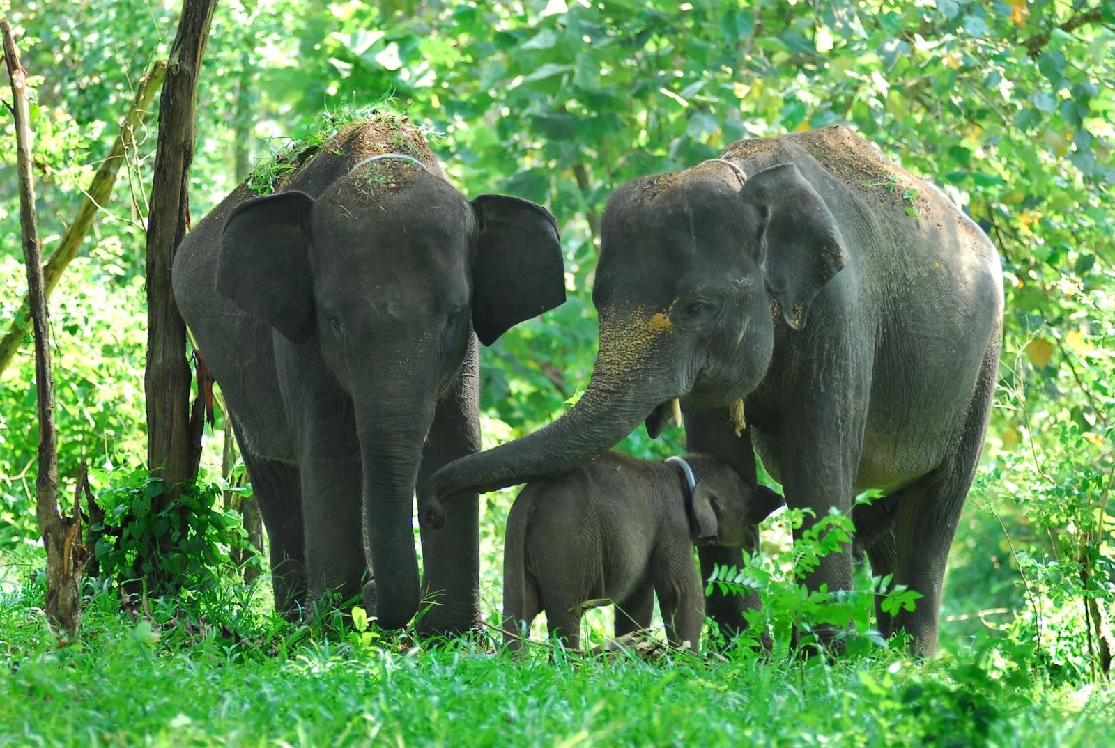 Sumatera Elephants