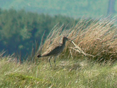 I've yet to get a decent picture of a curlew, this one was taken on Burn Moor in Bowland in May 2009