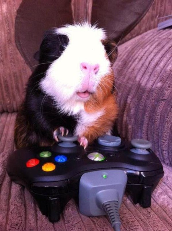 funny animal pictures, guinea pig plays xbox