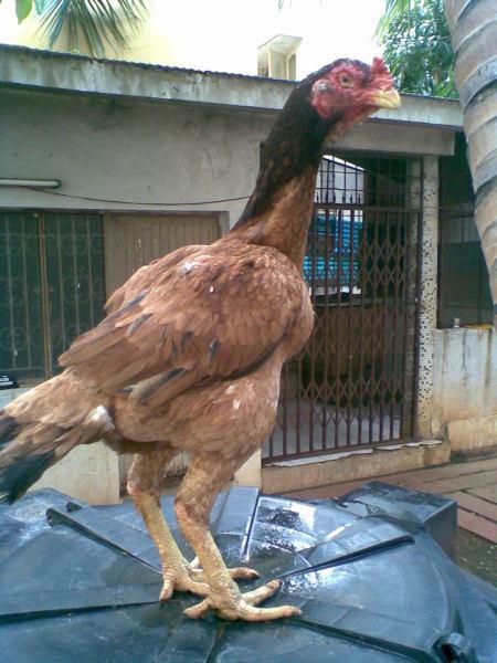 Sathineni Indian Rooster