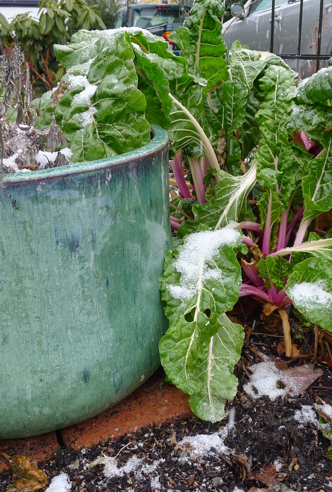 Peppermint Swiss Chard adds winter interest to the garden