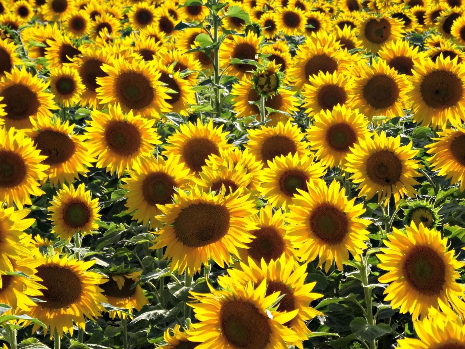 sunflower field in bloom Germany