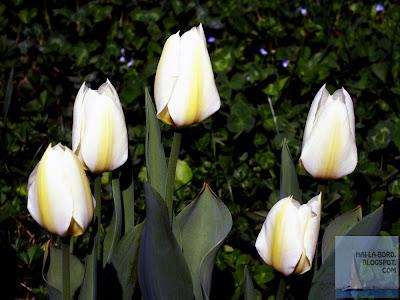 lalele albe gradina botanica bucuresti