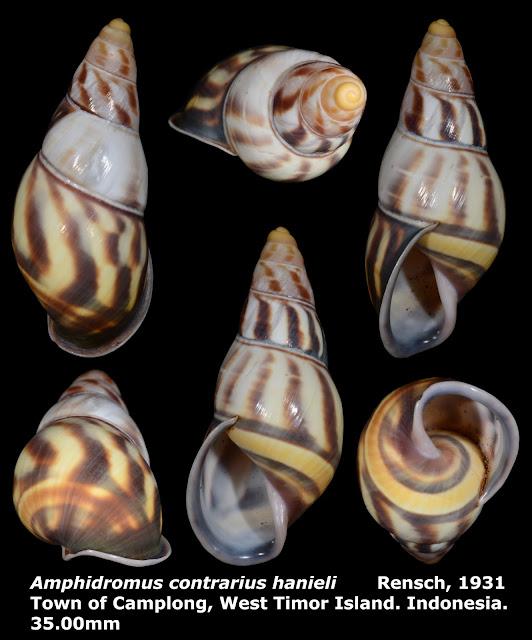 Amphidromus contrarius hanieli 35.00mm