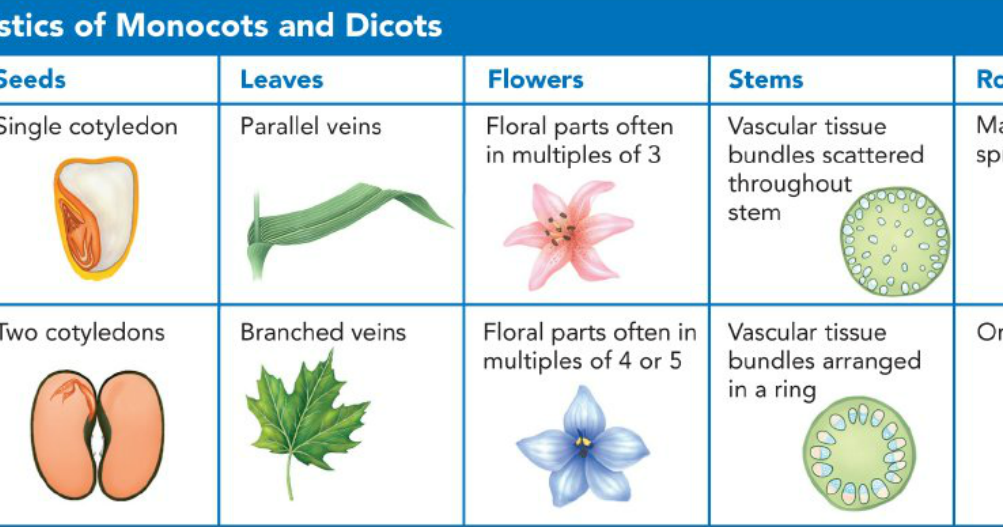 monocot and dicot labs