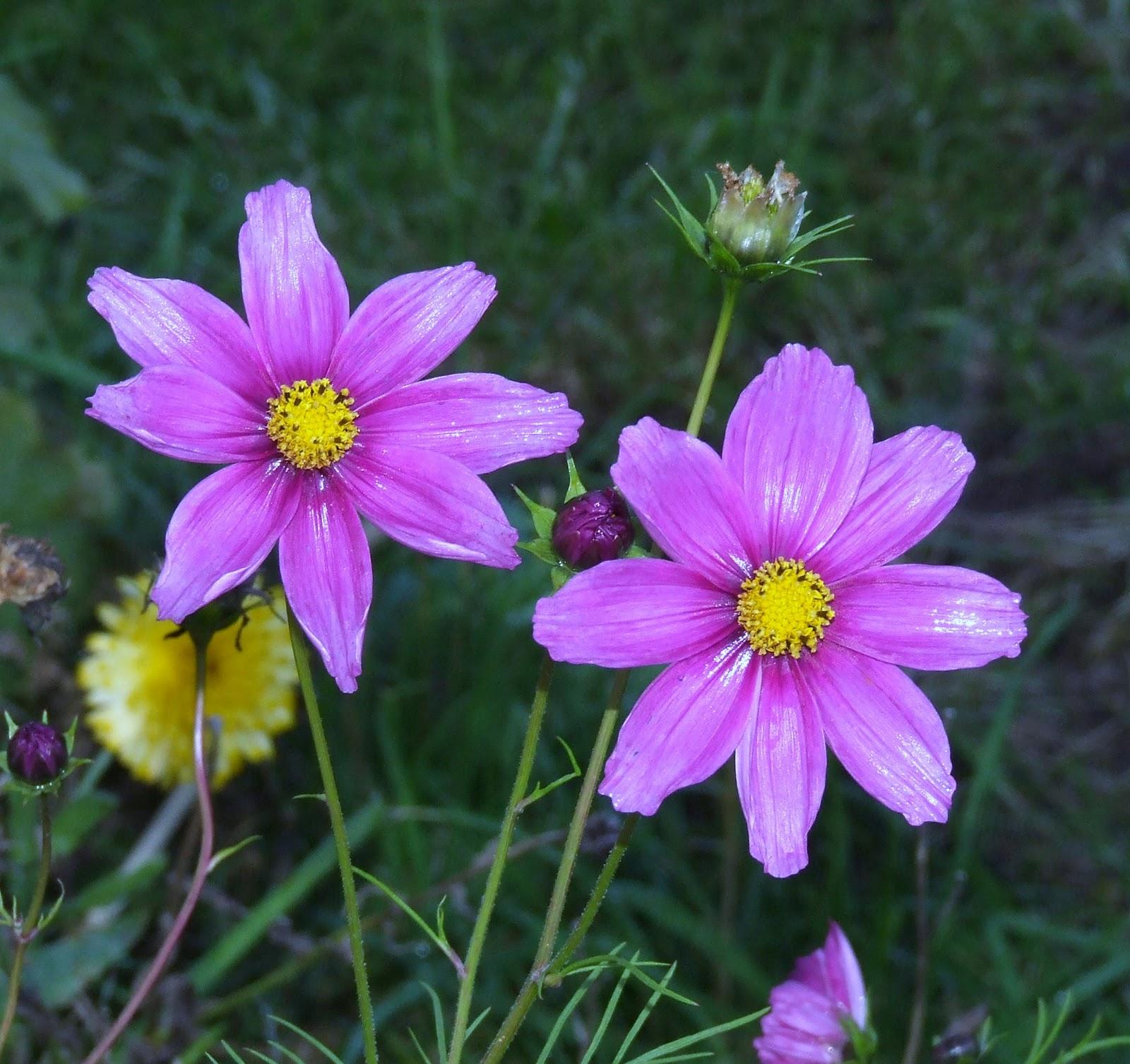 purple jasmine Flower Research