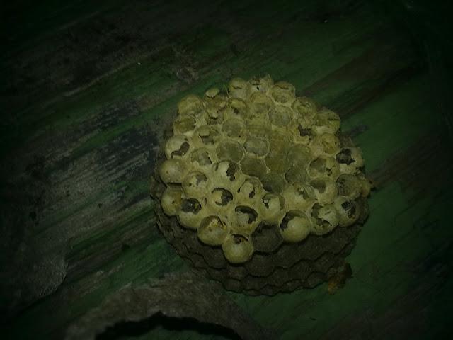 Осиное гнездо фото