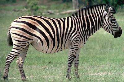 Cebras animales fotos