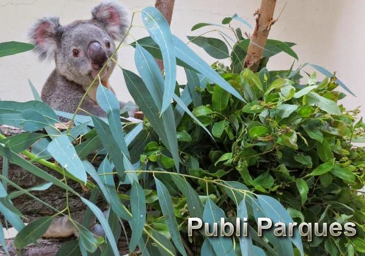 koala de Zoo Aquarium de Madrid