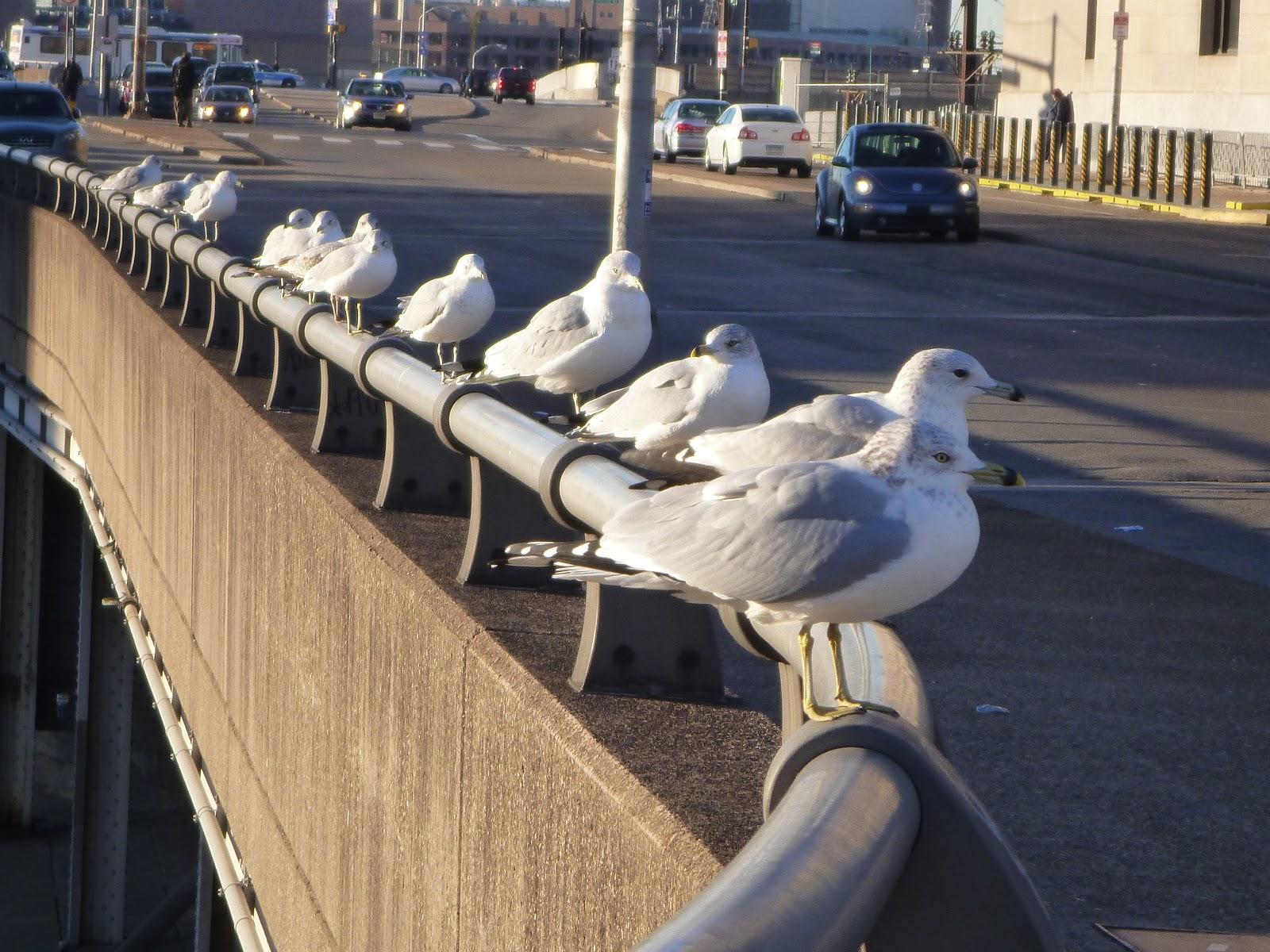 city gulls railing