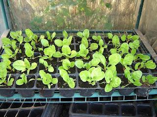 siembra y plantación Semillero+acelgas