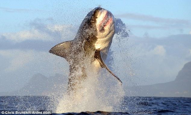 El Gran Tiburon Blanco