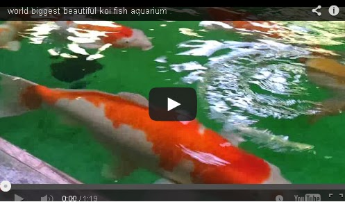 World biggest beautiful koi fish aquarium fish aquariums for Koi fish aquarium