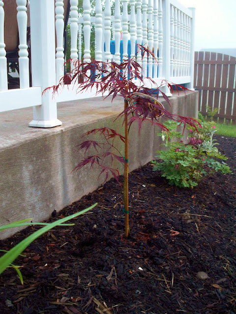 My new Japanese Maple Tree