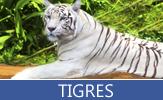 Tigres de bengala y tigres siberianos - Tigers