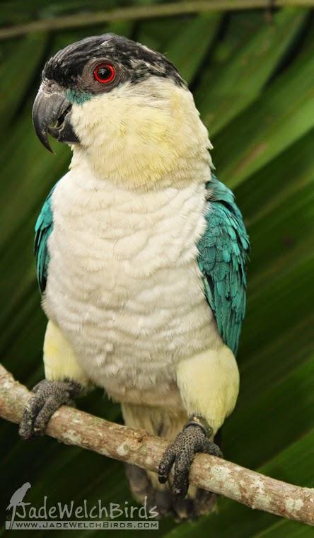 caique black-headed blue par blue young jadewelchbirds curious parrot jade welch birds