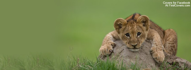 "<img src=""http://1.bp.blogspot.com/-mHKfSuN-b3M/Ue1eGaR62vI/AAAAAAAACzU/IIDm6R1Ei0c/s1600/lion_cub-3448.jpg"" alt=""Animal Facebook Covers"" />"