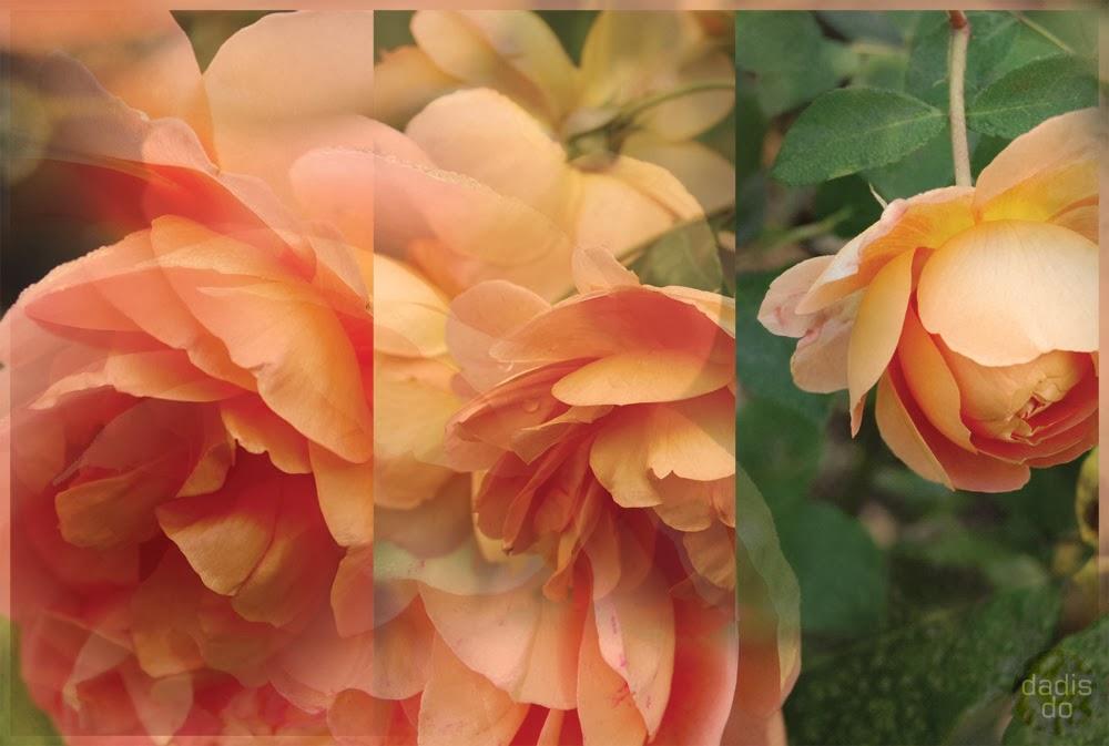angļu rozes `Pat Austin`
