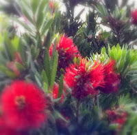 January 12: Bottlebrush