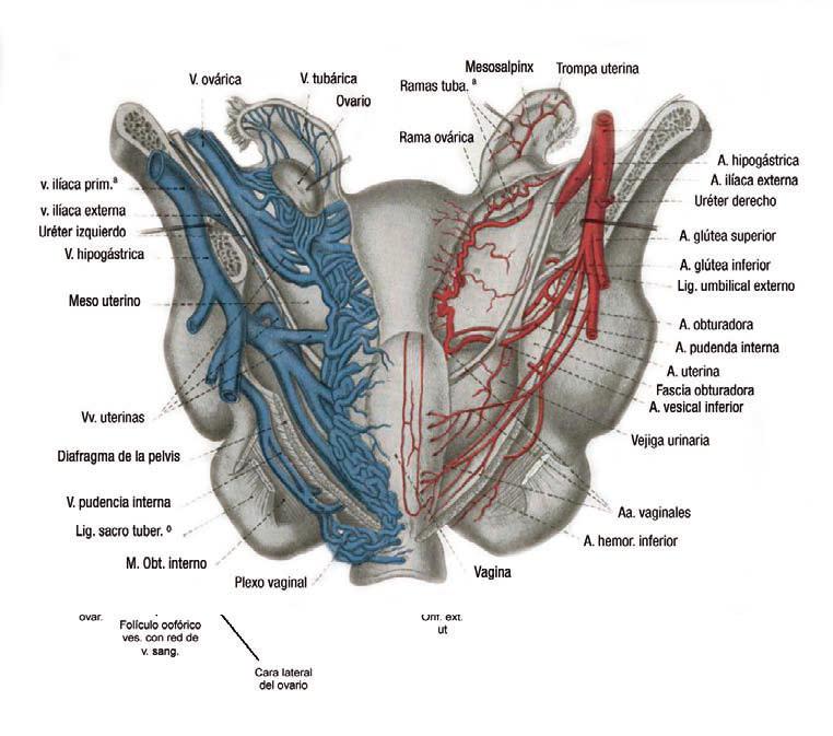 Portal Obstetrica.COM: IRRIGACION SANGUÍNEA DE LA PELVIS