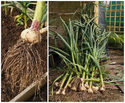 first garlic lifted - growourown.blogspot.com - an allotment blog