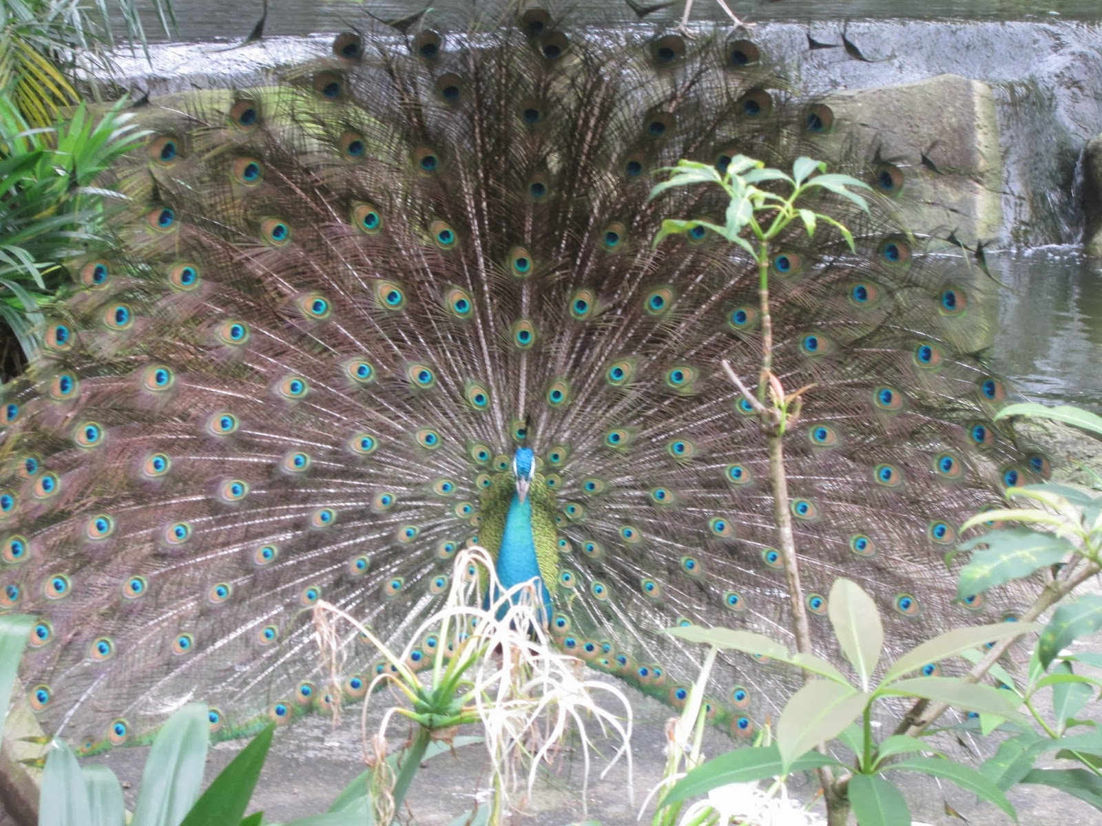 Keindahan Ciptaan Allah, WORDLESS OF WEDNESDAY, Merak, Burung Merak, Indahnya ciptaan Allah, Makhluk Allah, http://ieta-myblog.blogspot.com/2014/01/merak.html