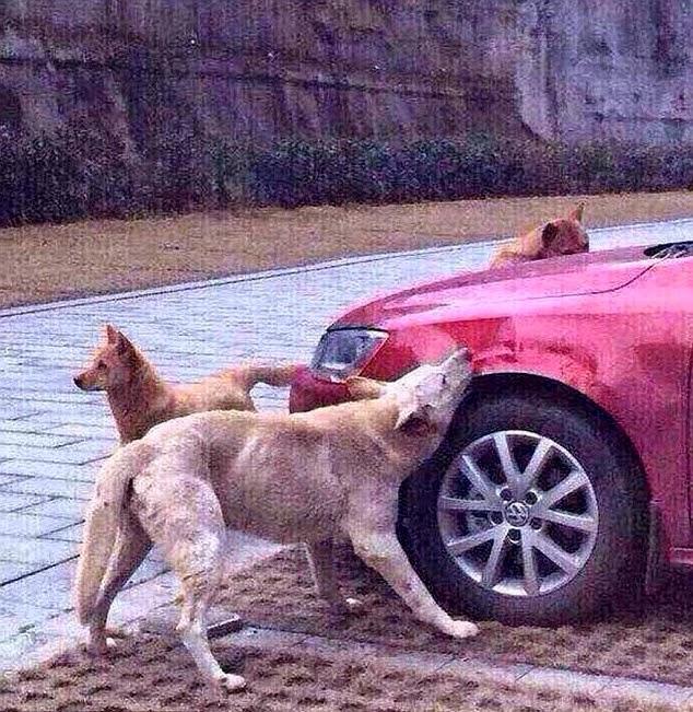 Após chute cão chama outros cães e destrói carro de agressor