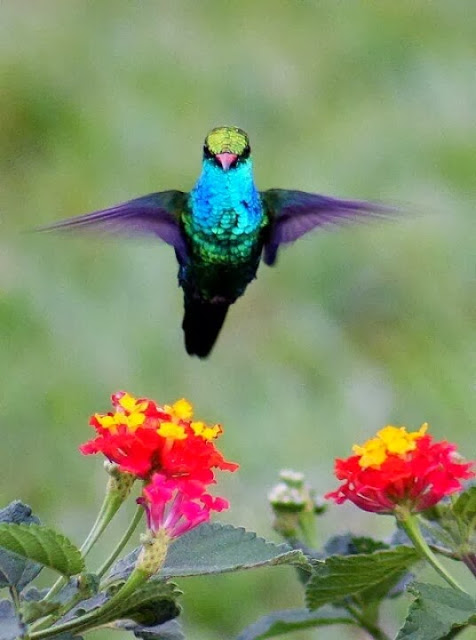 Hummingbird set to hug or embrace the flower bunch