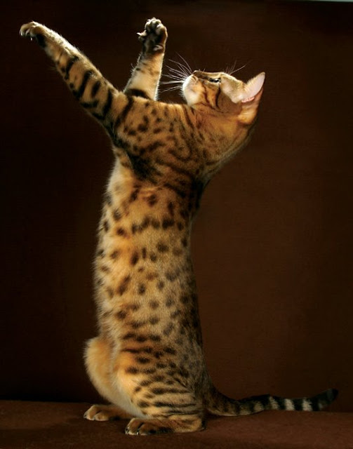Health problems in Bengal Cats