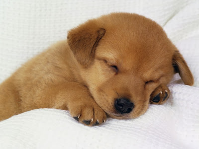sleeping-cute-dog