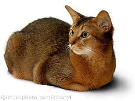 kucing abyssinian