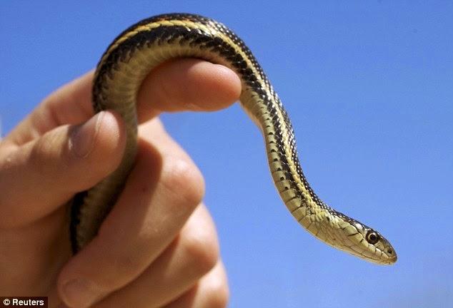 ular menunda pesawat