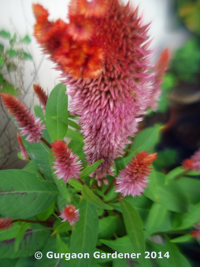 Gurgaon gardener red flower plants for your garden for Soil gurgaon