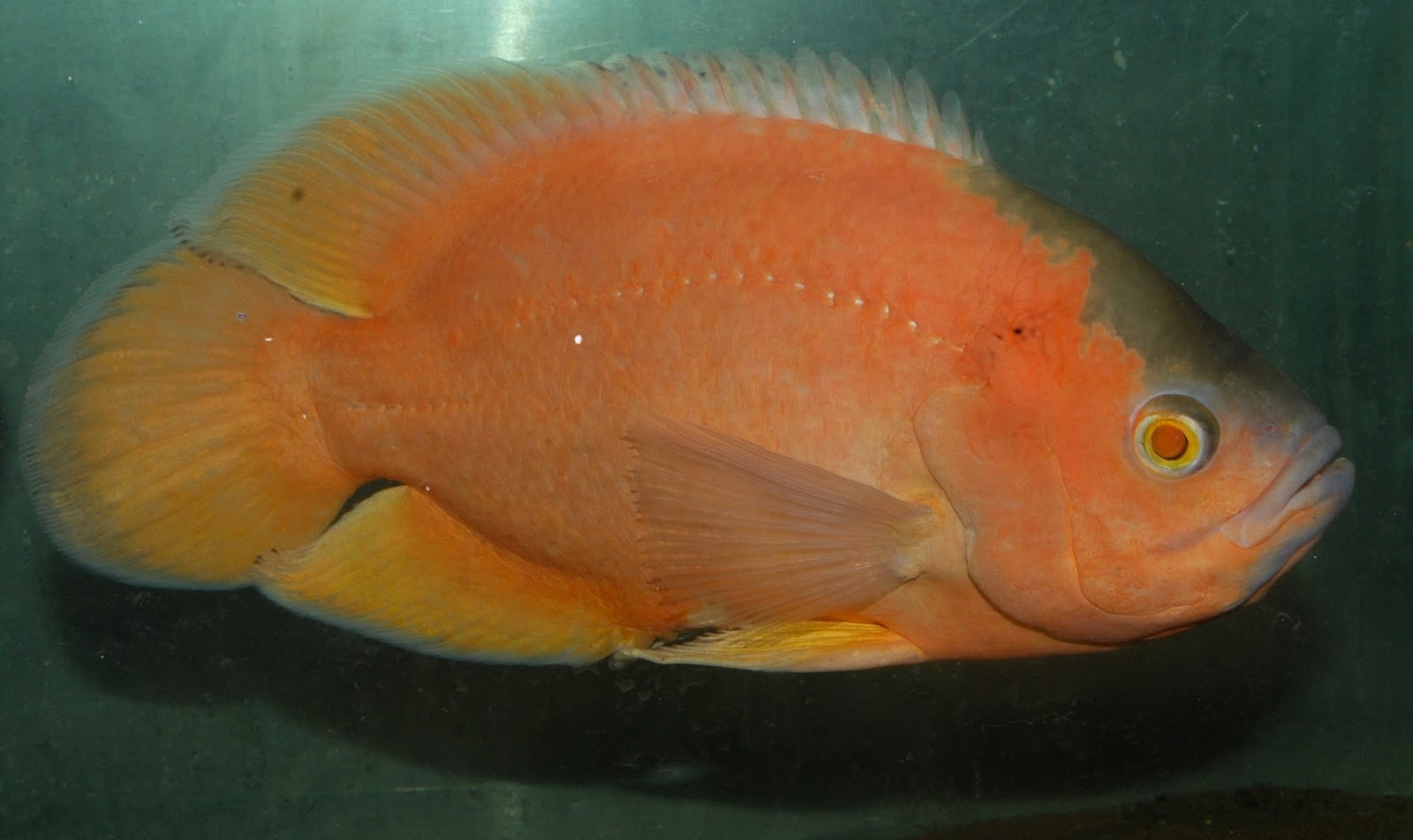Tropical exotics ornamental fish traders july 2013 for Ornamental fish