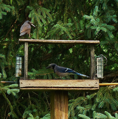 Grackle & a Bluejay cautiously share the feeder