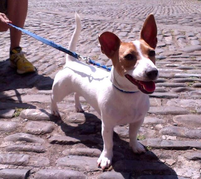 Piula, una cachorra jack russell de 9 meses en Ainsa