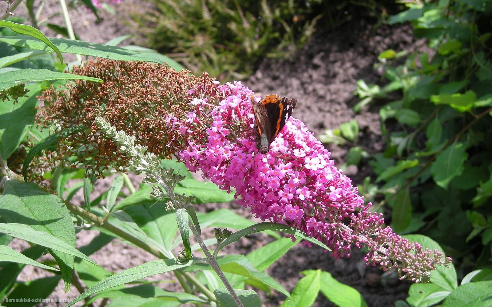 Foto van een mooie vlinder op een roze vlinderstruik bureaublad achtergronden - Een mooie kamer van een mooie meid ...