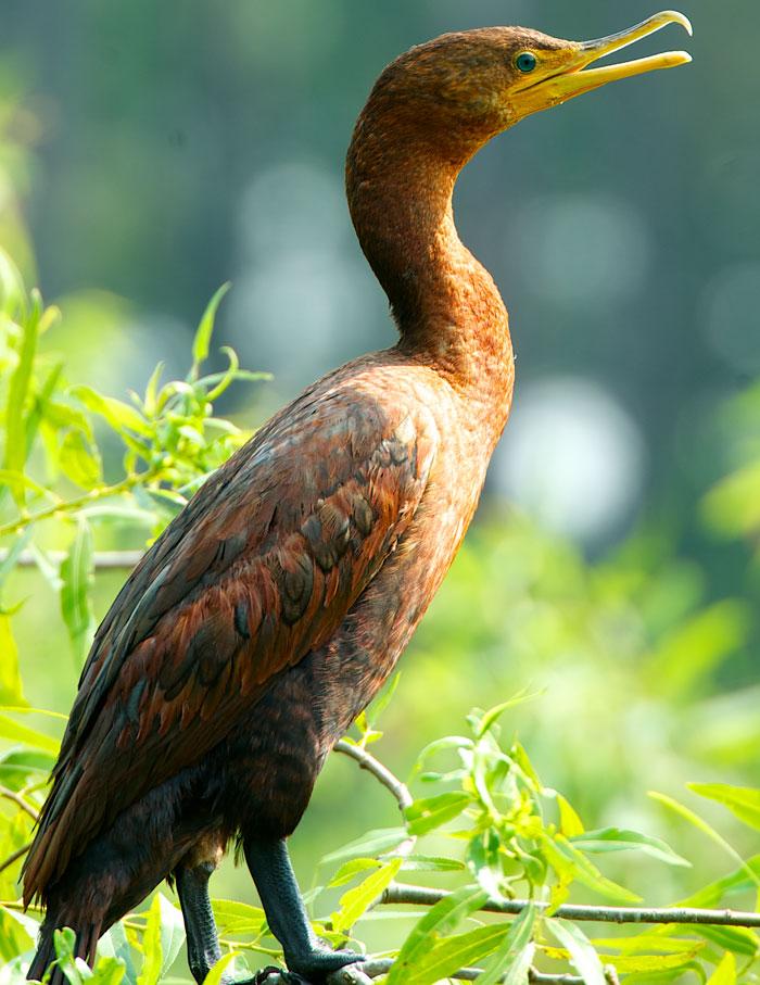 Double crested cormorant juvenile