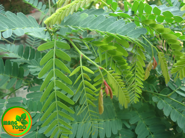 Manfaat dan khasiat dari daun Asam Jawa dan cara meraciknya